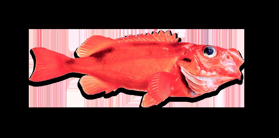 Deepwater Redfish